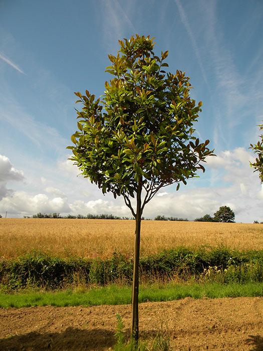 P pini res chauvir arbres remarquables sommaire notre catalogue gt - Magnolia persistant petite taille ...