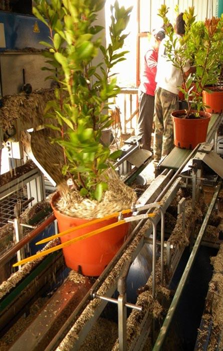 système racinaire du mimosa