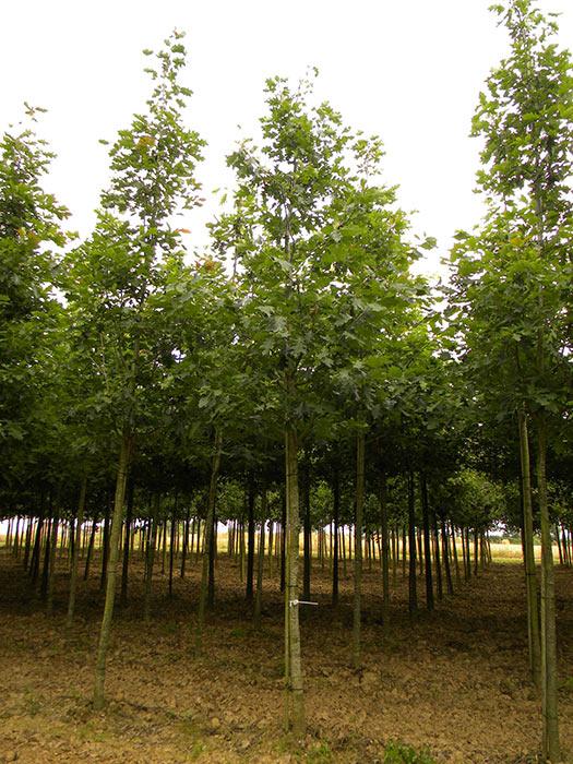 p pini res chauvir arbres remarquables sommaire notre catalogue arbres quercus. Black Bedroom Furniture Sets. Home Design Ideas