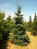 ABIES-CONCOLOR-ISO
