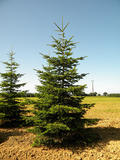 ABIES-NORDMANNIANA-ISO