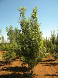 ACER-SACCHARINUM-ISO-cepees