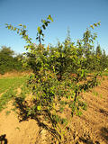 AMELANCHIER-CANADENSIS-ISO-cepees