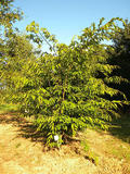 CARPINUS-JAPONICA-ISO-cepees