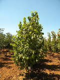 CORYLUS-COLURNA-ISO-cepees