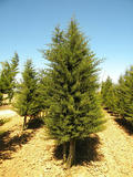 CUPRESSUS-SEMPERVIRENS-ISO-cepees