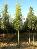 FRAXINUS-EXCELSIOR-ISO