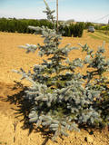 PICEA-PUNGENS-HOOPSII-ISO