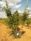 PYRUS-CALLERYANA-ISO-cepees