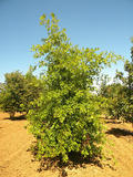 QUERCUS-PALUSTRIS-ISO-cepees