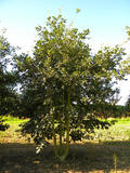 QUERCUS-PUBESCENS-ISO-cepees