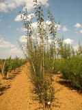 SALIX-DAPHNOIDES-ISO-cepees
