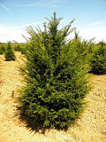 TAXUS-BACCATA-ISO