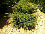 TAXUS-BACCATA-REPANDENS-ISO